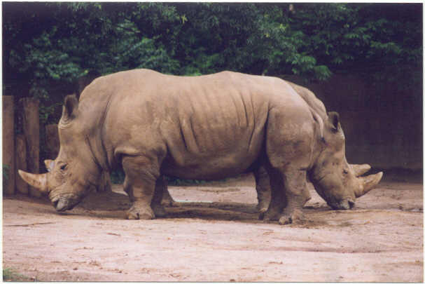 Rare Two Headed Rhino. Courtesy of Eli Triona.