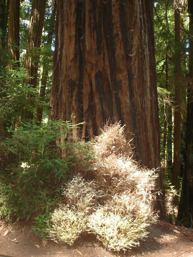 Albino Redwood At Henry Cowell State Park 2013. Photo by Vicki Wees