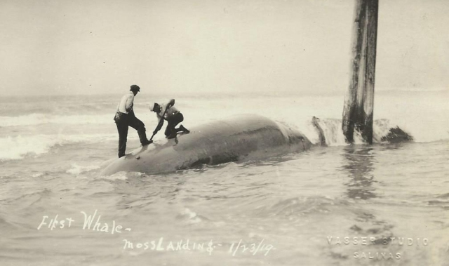 1919 Moss Landing, Ca. First Whale Caught. Courtesy Carol Harrington.